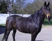 Hest til salg - LAURINJA