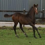 Hest til salg - BURGDORFF ATHENE