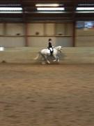 Hest til salg - BJERREGÅRDS IVANHOE