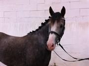 Hest til salg - DRUSBJERGS MATHIAS