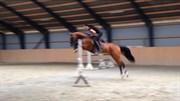 Hest til salg - SØHOLT'S KI-CHATS ME