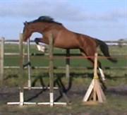 Hest til salg - GREDSTEDGAARDS CE SI BON