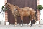 Hest til salg - Svea og Sputnik