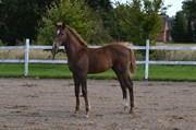 Hest til salg - DREAM ROYAL