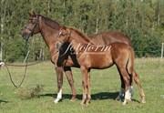 Hest til salg - Comezezza