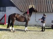 Hest til salg - LADY LIMELIGHT