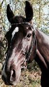 Hest til salg - San Sebastian