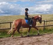 Hest til salg - LYKKESHOLMS CYPERB