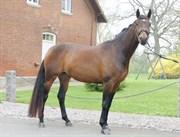 Hest til salg - SILJE AF MAALING