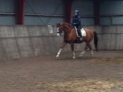 Hest til salg - Puer