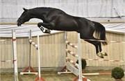 Hest til salg - 11 - HIGHLAND PARK