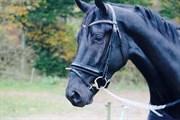 Hest til salg - OKAJ'S DISNEY
