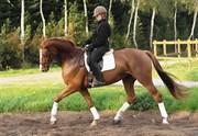 Hest til salg - CHREVI'S RAVAGE