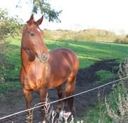 Hest til salg - SOLEJS CHA-SIE
