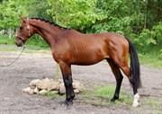 Hest til salg - GODTHAABS BRICKLIN
