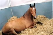 Hest til salg - MARTINUS