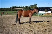 Hest til salg - LOTUS WITO