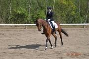 Hest til salg - CANDIANA SAKSTRUP