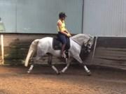 Hest til salg - CARLO