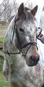 Hest til salg - Fønix Fawkes