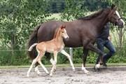 Hest til salg - FREDENSDALS COLDPLAY