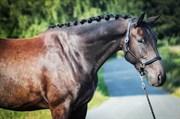 Hest til salg - LACUR RUD