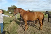 Hest til salg - LAS PALMAS