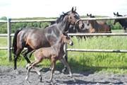 Hest til salg - Gredstedgaards Fantastiko