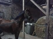 Hest til salg - COMPEED