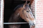 Hest til salg - COCHI