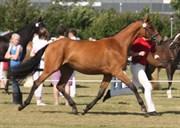 Hest til salg - VIDTSKUE'S RAFAELA