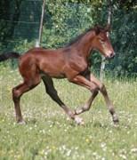 Hest til salg - Svanegaardens Donna Rio