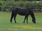Hest til salg - V-HANDINE