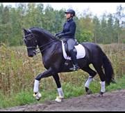 Hest til salg - SPRINGSTEEN H.