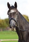 Hest til salg - ROYAL LEGACY