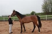 Hest til salg - KIRKELODGAARD´S CAMELOT