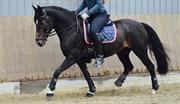 Hest til salg - DAIMY