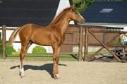 Hest til salg - Seduze