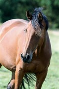 Hest til salg - SCHILA