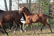 Hest til salg - Højvangs Florimance