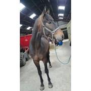Hest til salg - TEZIAN