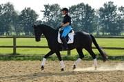 Hest til salg - Dvorak