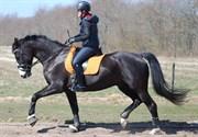 Hest til salg - ZANTOS ROEST