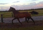 Hest til salg - ELMEGÅRDENS KARISMA