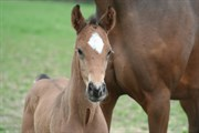 Hest til salg - LILLEVANGS ISIDORA