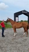 Hest til salg - SAMARA ROSENLUND
