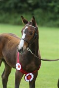 Hest til salg - GADGAARDS CASIA