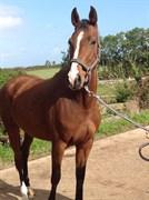 Hest til salg - Deligth