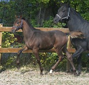 Hest til salg - MAVERICK G