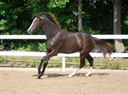Hest til salg - HILL TOP CHABLIS